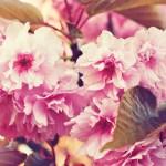 cherry-blossoms-771596